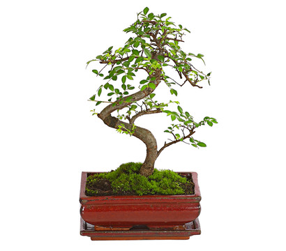 bonsai chinesische ulme 8 jahre dehner. Black Bedroom Furniture Sets. Home Design Ideas