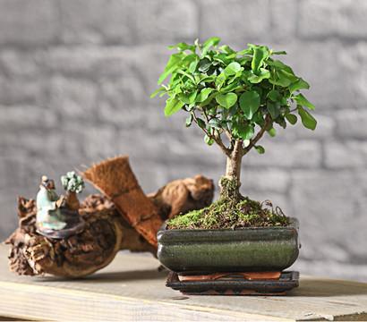 bonsai chinesischer liguster 6 jahre kugelform dehner. Black Bedroom Furniture Sets. Home Design Ideas