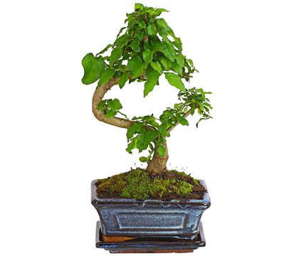 Bonsai - Chinesischer Liguster, 6 Jahre