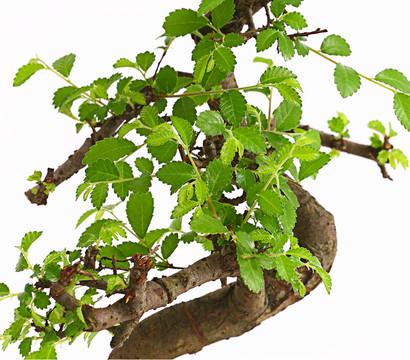 bonsai anf nger geschenkset chinesische ulme dehner garten center. Black Bedroom Furniture Sets. Home Design Ideas