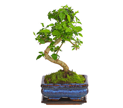 bonsai anf nger geschenkset chinesischer liguster dehner garten center. Black Bedroom Furniture Sets. Home Design Ideas