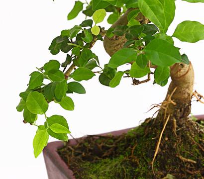 bonsai anf nger geschenkset chinesischer liguster. Black Bedroom Furniture Sets. Home Design Ideas