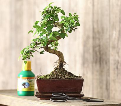 bonsai anf nger geschenkset chinesischer liguster dehner garten center. Black Bedroom Furniture Sets. Home Design Ideas