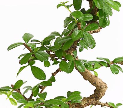 bonsai anf nger geschenkset fukientee dehner garten center. Black Bedroom Furniture Sets. Home Design Ideas