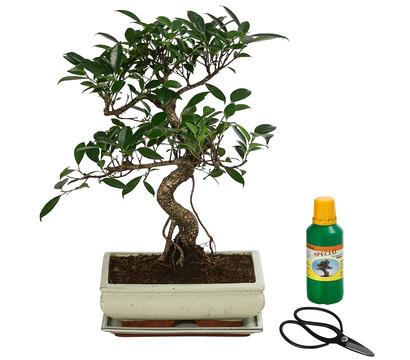 Bonsai Anfänger-Geschenkset - Chinesischer Feigenbaum, 10 Jahre