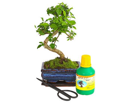 Bonsai Anfänger bonsai anfänger-geschenkset - chinesischer liguster | dehner