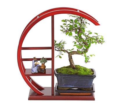 bonsai chinesische ulme im rund regal dehner garten. Black Bedroom Furniture Sets. Home Design Ideas