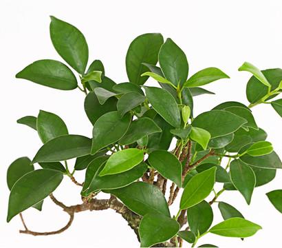 bonsai chinesischer feigenbaum 6 jahre dehner garten center. Black Bedroom Furniture Sets. Home Design Ideas