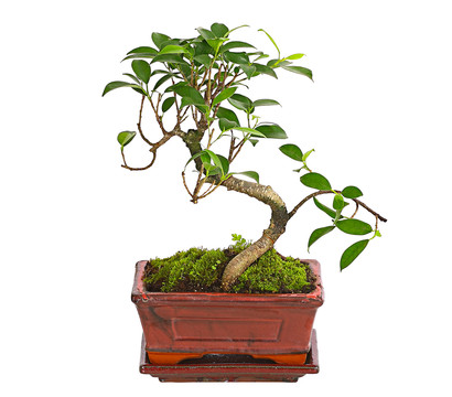 bonsai chinesischer feigenbaum 6 jahre dehner garten. Black Bedroom Furniture Sets. Home Design Ideas
