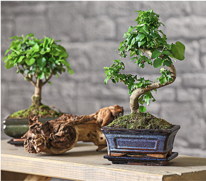 bonsai chinesischer liguster 6 jahre dehner garten center. Black Bedroom Furniture Sets. Home Design Ideas