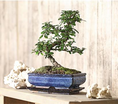 bonsai fukientee 10 jahre dehner garten center. Black Bedroom Furniture Sets. Home Design Ideas
