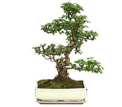 bonsai fukientee 12 15 jahre dehner garten center. Black Bedroom Furniture Sets. Home Design Ideas