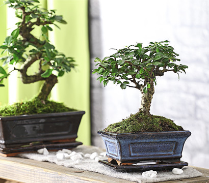 bonsai fukientee 6 jahre kugelform dehner garten center. Black Bedroom Furniture Sets. Home Design Ideas