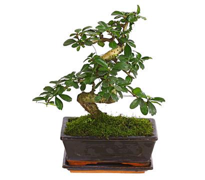 bonsai fukientee 8 jahre dehner garten center. Black Bedroom Furniture Sets. Home Design Ideas