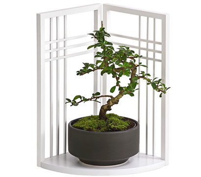 bonsai fukientee mit asia paravent dehner garten center. Black Bedroom Furniture Sets. Home Design Ideas