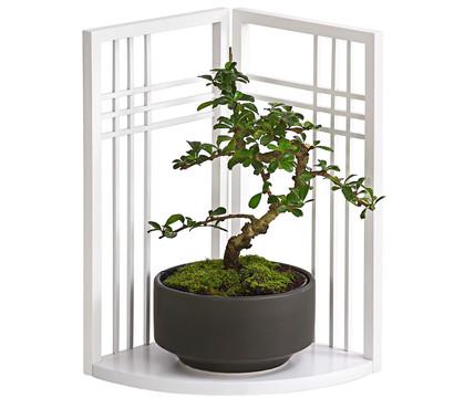 bonsai fukientee mit asia paravent dehner garten center. Black Bedroom Furniture Sets. Home Design Ideas