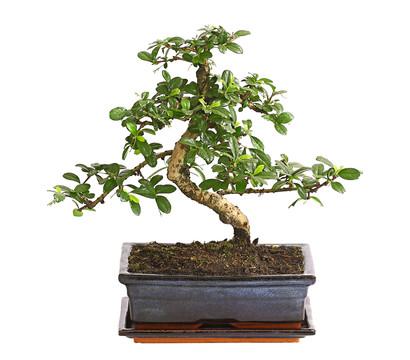 bonsai fukientee st mmchen dehner garten center. Black Bedroom Furniture Sets. Home Design Ideas