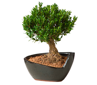 bonsai gew hnlicher buchsbaum buchs st mmchen dehner. Black Bedroom Furniture Sets. Home Design Ideas
