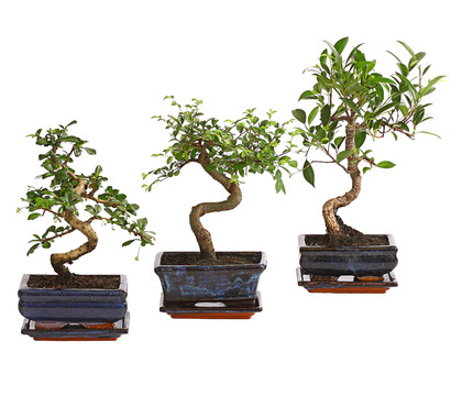 bonsai in keramik sortenmix dehner garten center. Black Bedroom Furniture Sets. Home Design Ideas