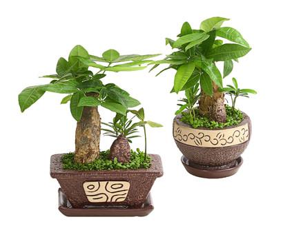 bonsai 39 little tahiti 39 im topf 18 23 cm liefergr e. Black Bedroom Furniture Sets. Home Design Ideas