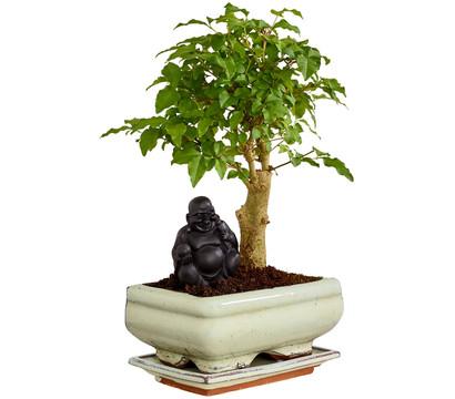 bonsai mit buddha sortenmix dehner garten center. Black Bedroom Furniture Sets. Home Design Ideas
