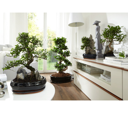 bonsai mit fels in keramik dehner garten center. Black Bedroom Furniture Sets. Home Design Ideas