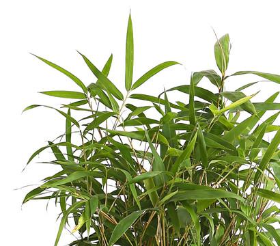 Breitblatt bambus dehner garten center - Bambus pflegen zimmer ...