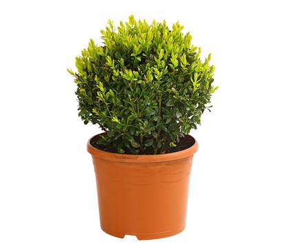 Buchs - Gewöhnlicher Buchsbaum, Kugel