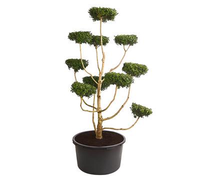 Buchs - Gewöhnlicher Buchsbaum, Pompon