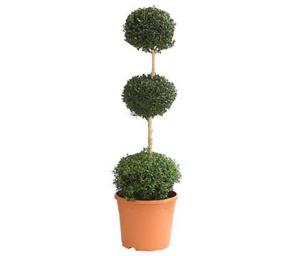 buchs buchsbaum st mmchen mit 3 kugeln dehner garten. Black Bedroom Furniture Sets. Home Design Ideas