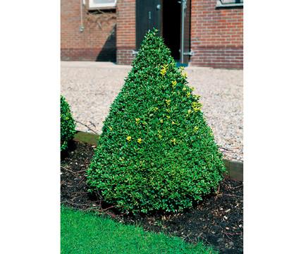 buchs gew hnlicher buchsbaum pyramide dehner garten center. Black Bedroom Furniture Sets. Home Design Ideas