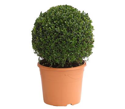 Buchsbaumkugel - Gewöhnlicher Buchs