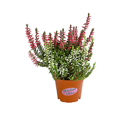Calluna - Knospenheide, 'Mini-Twingirls®'