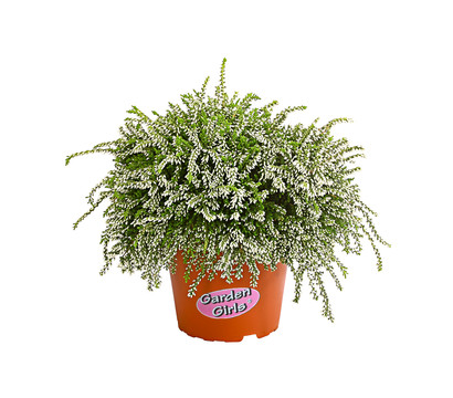 Calluna - Knospenheide 'Rasta Girls®'