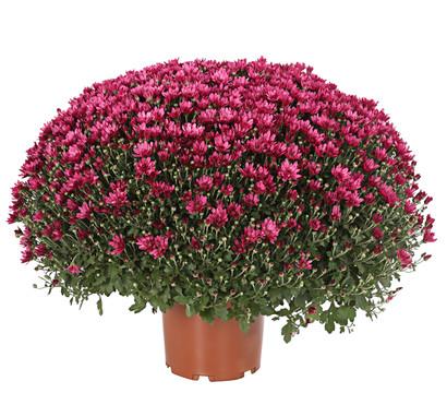 Chrysantheme 'Aduro'