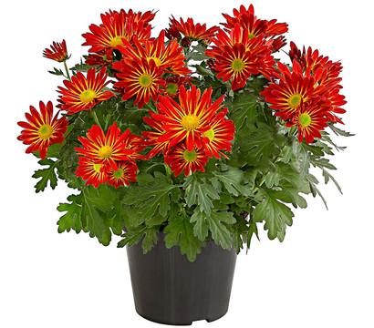 Chrysantheme 'Cirus'