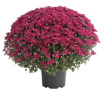 Chrysantheme 'Fuchsia Star'
