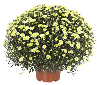 Chrysantheme 'Pistache'
