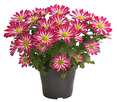 Chrysantheme 'Rainbow Candy'