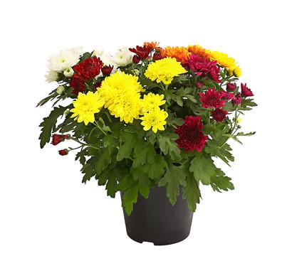 Chrysantheme 'Sixties', gefüllt