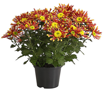 Chrysantheme 'Splash Energy'