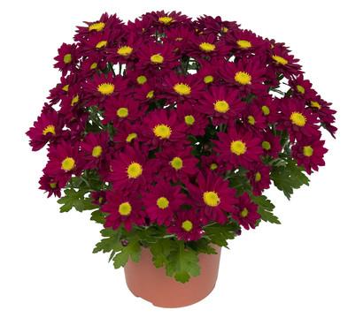 chrysantheme 39 swifty 39 dehner garten center. Black Bedroom Furniture Sets. Home Design Ideas