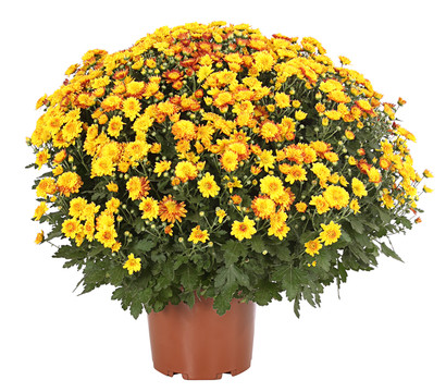 Chrysantheme 'Tocca'