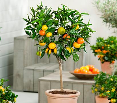 citrus in sorten dehner garten center. Black Bedroom Furniture Sets. Home Design Ideas