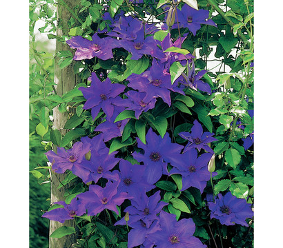 clematis 39 jackmannii the president 39 waldrebe dehner garten center. Black Bedroom Furniture Sets. Home Design Ideas