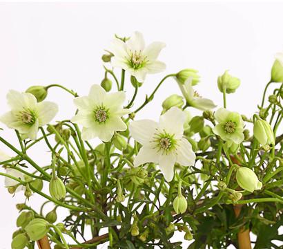 Clematis 39 pixie 39 waldrebe 39 pixie 39 dehner garten center for Evergreen pflanzen