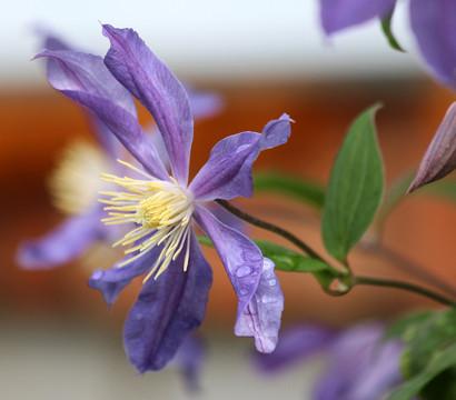 dehner alpen waldrebe clematis violett dehner garten. Black Bedroom Furniture Sets. Home Design Ideas