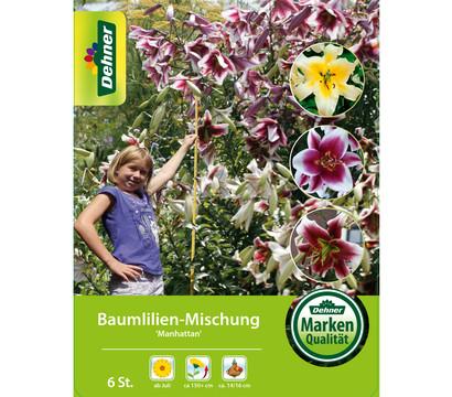 Dehner Blumenzwiebel Baumlilien-Mischung 'Manhattan'