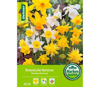 Dehner Blumenzwiebel Botanische Narzisse 'Niedrige Mischung'