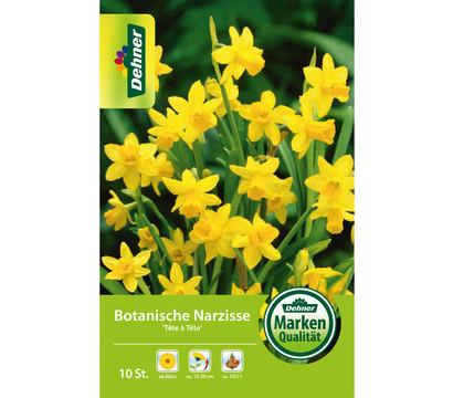 Dehner Blumenzwiebel Botanische Narzisse 'Tête á Tête'